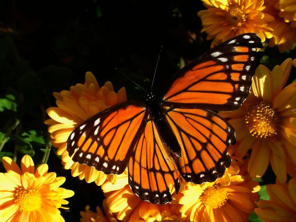 foto farfalla arancione bellissima